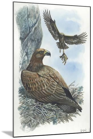 Couple of Golden Eagles Aquila Chrysaetos Female Warms Eggs While Male Brings Her Hare--Mounted Giclee Print