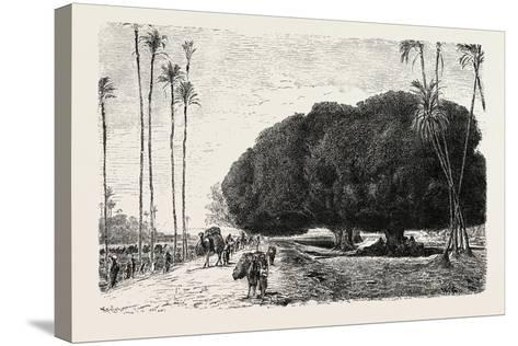 Palm and Sycamore, Thinnest and Thickest of the Trees of the Nile Valley. Egypt, 1879--Stretched Canvas Print