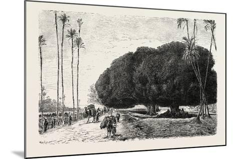 Palm and Sycamore, Thinnest and Thickest of the Trees of the Nile Valley. Egypt, 1879--Mounted Giclee Print