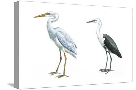 Birds: Ciconiiformes, Great Blue Heron (Ardea Herodias), White-Necked Heron (Ardea Pacifica)--Stretched Canvas Print