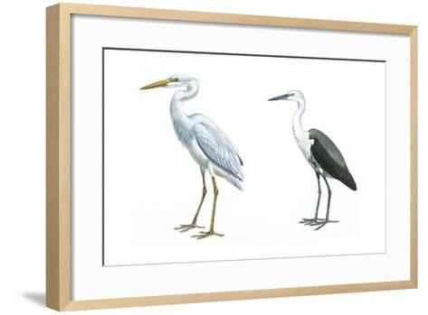 Birds: Ciconiiformes, Great Blue Heron (Ardea Herodias), White-Necked Heron (Ardea Pacifica)--Framed Art Print