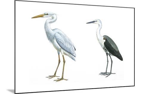 Birds: Ciconiiformes, Great Blue Heron (Ardea Herodias), White-Necked Heron (Ardea Pacifica)--Mounted Giclee Print