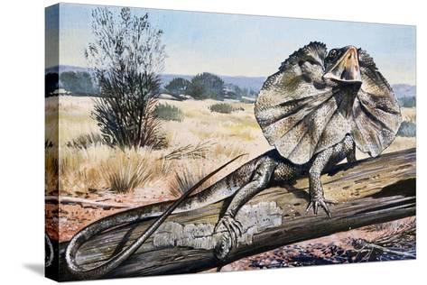Frilled-Neck Lizard or Frilled Dragon (Chlamydosaurus Kingii), Agamidae--Stretched Canvas Print