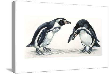 Birds: Sphenisciformes, Humboldt Penguin (Spheniscus Humboldti) Couple--Stretched Canvas Print