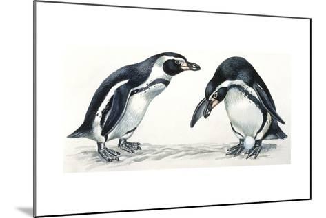 Birds: Sphenisciformes, Humboldt Penguin (Spheniscus Humboldti) Couple--Mounted Giclee Print