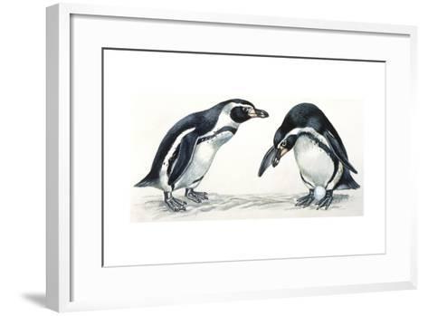 Birds: Sphenisciformes, Humboldt Penguin (Spheniscus Humboldti) Couple--Framed Art Print