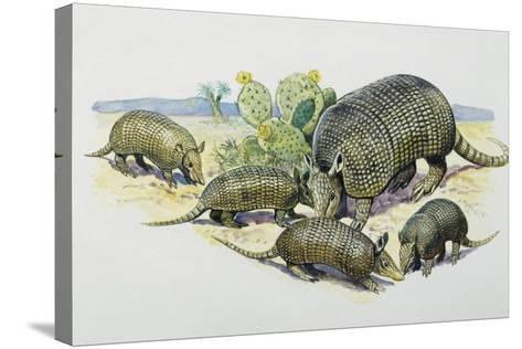 Female and Pups of Nine-Banded Armadillo (Dasypus Novemcinctus), Dasypodidae--Stretched Canvas Print