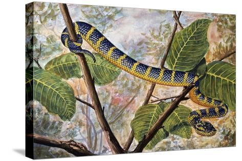 Wagler's Pit Viper or Temple Viper (Trimeresurus Wagleri), Viperidae--Stretched Canvas Print