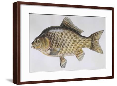 Fishes: Cypriniformes Cyprinidae - Prussian Carp (Carassius Gibelio)--Framed Art Print