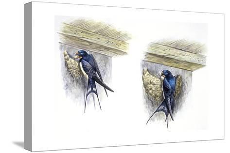 Birds: Passeriformes, Barn Swallow (Hirundo Rustica) Building Nest--Stretched Canvas Print