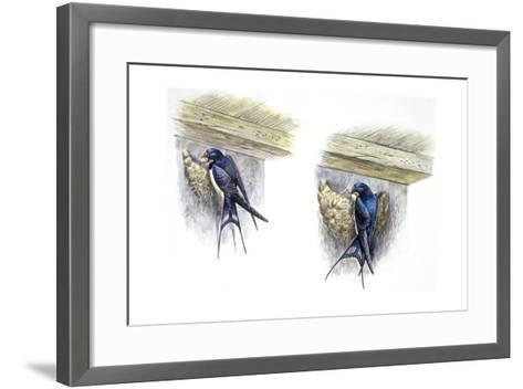 Birds: Passeriformes, Barn Swallow (Hirundo Rustica) Building Nest--Framed Art Print