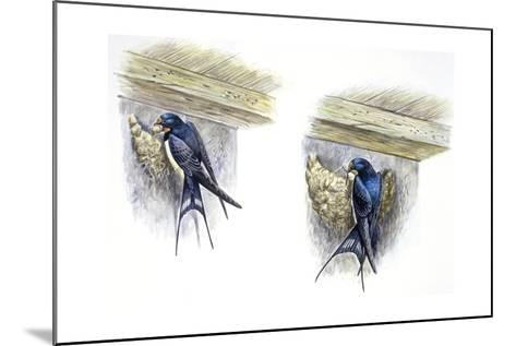 Birds: Passeriformes, Barn Swallow (Hirundo Rustica) Building Nest--Mounted Giclee Print