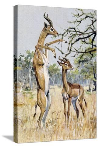 Gerenuk or Giraffe-Necked Antelope (Litocranius Walleri), Bovidae--Stretched Canvas Print
