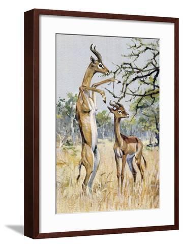 Gerenuk or Giraffe-Necked Antelope (Litocranius Walleri), Bovidae--Framed Art Print