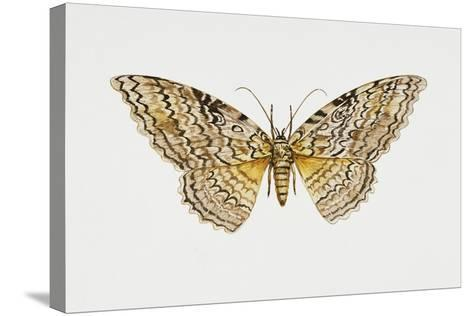 Owl Moth or White Witch (Thysania Agrippina), Noctuidae, Artwork by Tim Hayward--Stretched Canvas Print