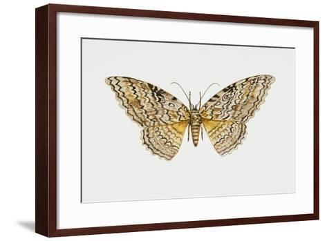Owl Moth or White Witch (Thysania Agrippina), Noctuidae, Artwork by Tim Hayward--Framed Art Print