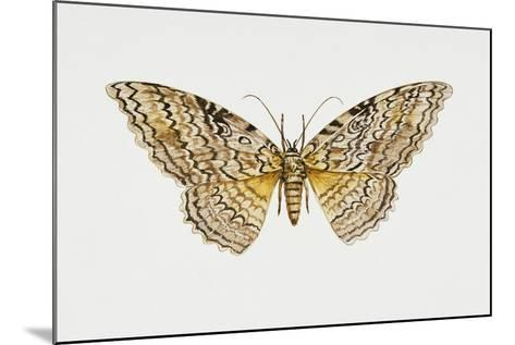 Owl Moth or White Witch (Thysania Agrippina), Noctuidae, Artwork by Tim Hayward--Mounted Giclee Print