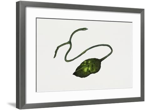 Green Spoonworm (Bonellia Viridis), Bonelliidae. Artwork by Rebecca Hardy--Framed Art Print