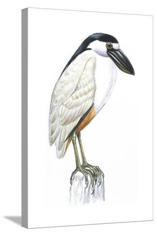 Birds: Ciconiiformes, Boat-Billed Heron (Cochlearius Cochlearius)--Stretched Canvas Print