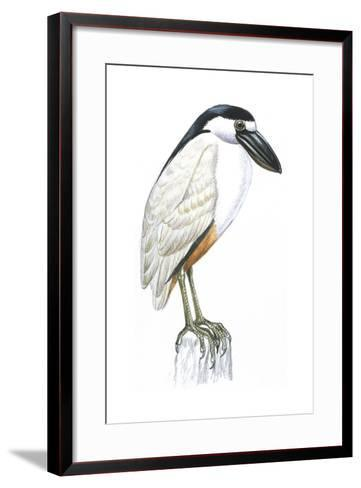 Birds: Ciconiiformes, Boat-Billed Heron (Cochlearius Cochlearius)--Framed Art Print