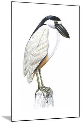 Birds: Ciconiiformes, Boat-Billed Heron (Cochlearius Cochlearius)--Mounted Giclee Print
