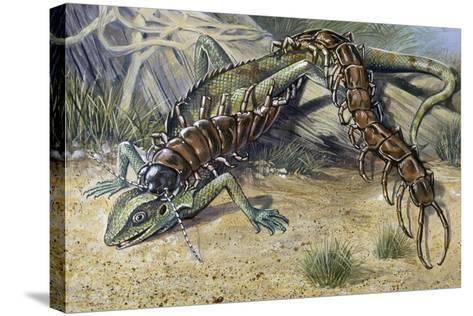 Amazonian Giant Centipede (Scolopendra Gigantea), Scolopendridae--Stretched Canvas Print