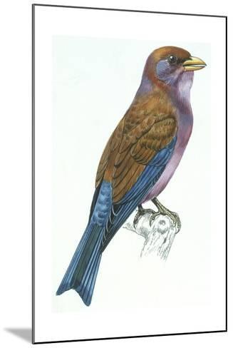 Birds: Coraciiformes, Racket-Tailed Roller (Coracias Spatulatus)--Mounted Giclee Print