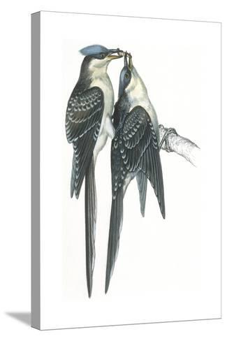 Birds: Cuculiformes, Great Spotted Cuckoos, (Clamator Glandarius) Mating--Stretched Canvas Print