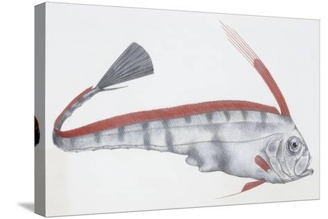 Fishes: Lampriformes Trachipteridae, Scalloped Ribbonfish (Zu Cristatus)--Stretched Canvas Print