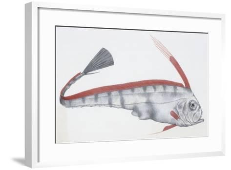 Fishes: Lampriformes Trachipteridae, Scalloped Ribbonfish (Zu Cristatus)--Framed Art Print