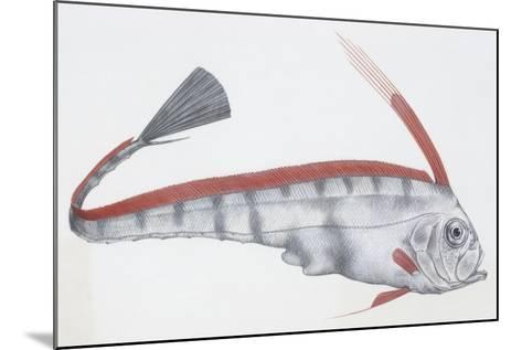 Fishes: Lampriformes Trachipteridae, Scalloped Ribbonfish (Zu Cristatus)--Mounted Giclee Print