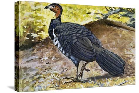 Australian Brushturkey or Scrub Turkey (Alectura Lathami), Megapodiidae--Stretched Canvas Print