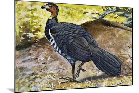 Australian Brushturkey or Scrub Turkey (Alectura Lathami), Megapodiidae--Mounted Giclee Print