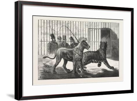 Moving the Carnivora, Lions, to the New Houses at the Zoological Gardens, London, 1876, Uk--Framed Art Print