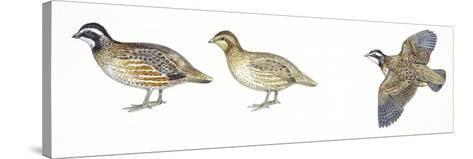 Birds: Galliformes, Bobwhite Quail (Colinus Virginianus), Male and Female--Stretched Canvas Print
