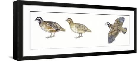 Birds: Galliformes, Bobwhite Quail (Colinus Virginianus), Male and Female--Framed Art Print