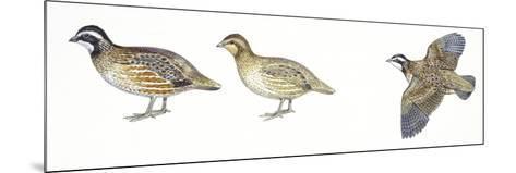 Birds: Galliformes, Bobwhite Quail (Colinus Virginianus), Male and Female--Mounted Giclee Print
