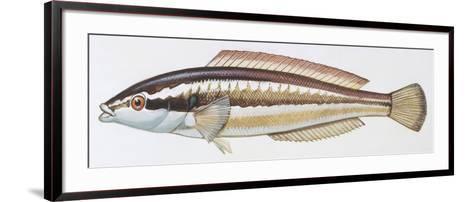 Fishes: Perciformes Labridae - Mediterranean Rainbow Wrasse (Coris Julis)--Framed Art Print
