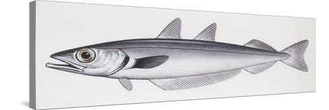 Fishes: Gadiformes Gadidae, Blue Whiting, (Micromesistius Poutassou)--Stretched Canvas Print