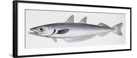 Fishes: Gadiformes Gadidae, Blue Whiting, (Micromesistius Poutassou)--Framed Art Print