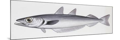 Fishes: Gadiformes Gadidae, Blue Whiting, (Micromesistius Poutassou)--Mounted Giclee Print