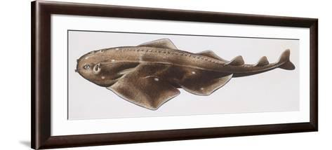 Fishes: Squatiniformes Squatinidae, Angelshark (Squatina Squatina)--Framed Art Print