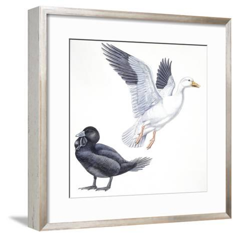 Birds: Anseriformes, Snow Goose (Chen Caerulescens) and Musk Duck (Biziura Lobata)--Framed Art Print