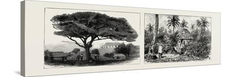 A Large Tree at Nukualofa, Tonga Islands (Left); a Tongan Village, Vavau, Tonga Islands (Right)--Stretched Canvas Print