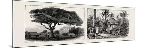 A Large Tree at Nukualofa, Tonga Islands (Left); a Tongan Village, Vavau, Tonga Islands (Right)--Mounted Giclee Print