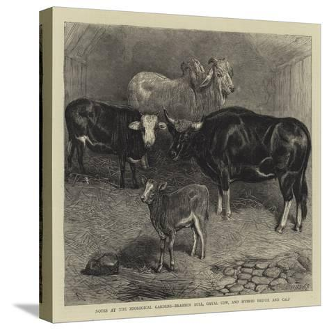 Notes at the Zoological Gardens, Brahmin Bull, Gayal Cow, and Hybrid Heifer and Calf--Stretched Canvas Print
