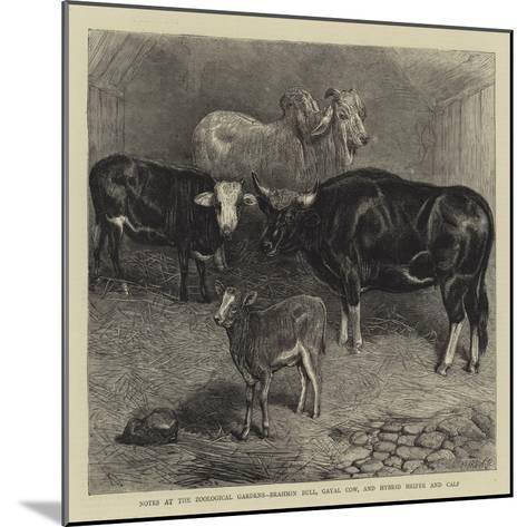 Notes at the Zoological Gardens, Brahmin Bull, Gayal Cow, and Hybrid Heifer and Calf--Mounted Giclee Print