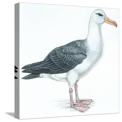 Birds: Procellariiformes, Black-Browed Albatross (Thalassarche Melanophrys)--Stretched Canvas Print