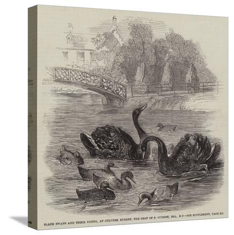 Black Swans and their Young, at Culvers, Surrey, the Seat of S Gurney, Esquire, Mp--Stretched Canvas Print