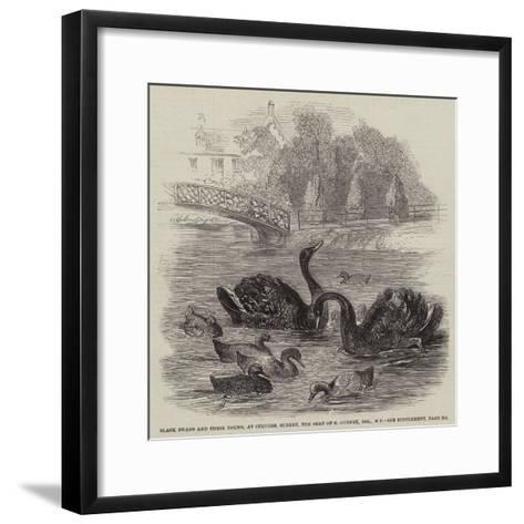 Black Swans and their Young, at Culvers, Surrey, the Seat of S Gurney, Esquire, Mp--Framed Art Print
